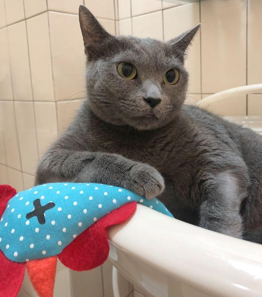 奴才用藍貓廢毛自製「貓咪專用口罩」模樣超Q 網友:自產不怕斷貨!
