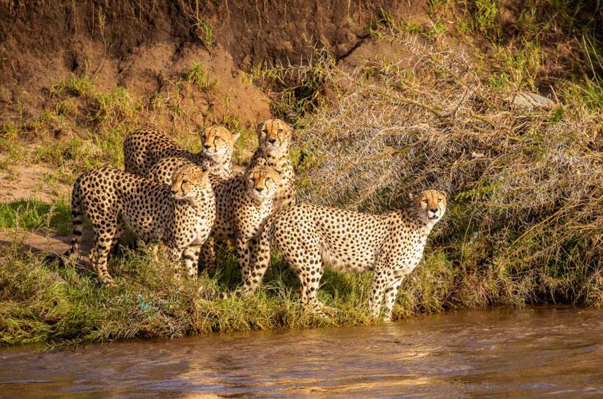 獵豹家庭「驚恐逃命」渡河照爆紅 水底藏「超可怕猛獸」連牠們都會怕!