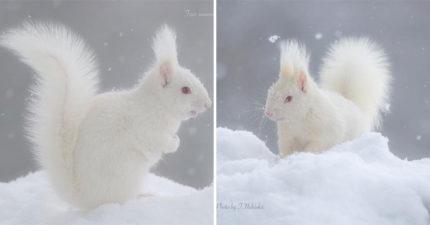 攝影師捕捉「稀有白松鼠」蓬鬆毛+紅眼睛 雪地精靈「特定地方」才看得到!
