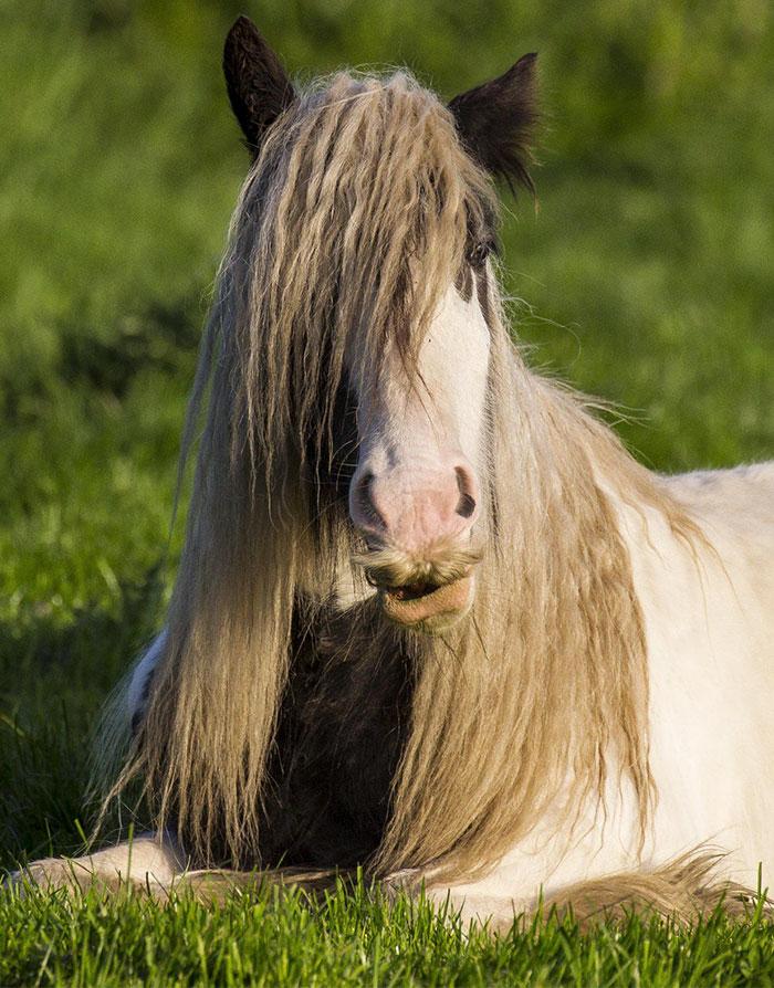 特殊品種「吉普賽馬」連母的都會長鬍子 長出「八字鬍」馬術師崩潰:拜託剃掉!