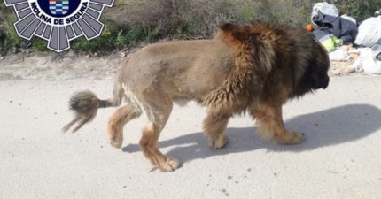 民眾報案「獅子在逛街」警察急出動 在牠身上「掃到晶片」才發現被騙了
