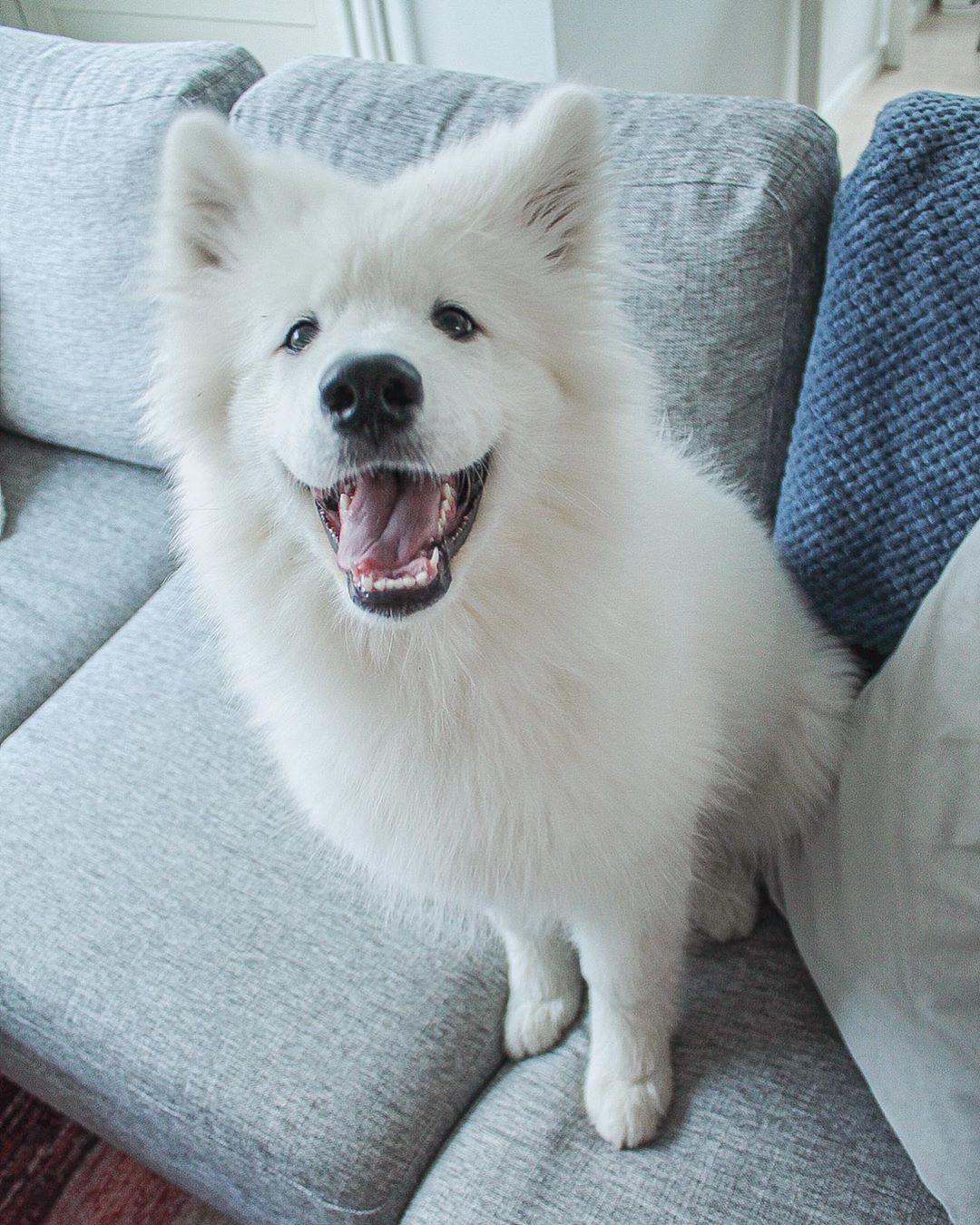 天使薩摩耶「爽滾泥巴」主人超無言 玩到「變黑狗」網笑翻:只剩臉是白色!