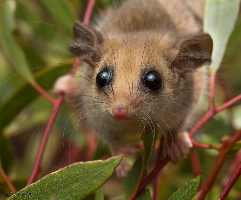 澳洲小精靈!超Q萌「侏儒負鼠」離不開人類手指 水汪汪眼睛讓人尖叫:好想養❤
