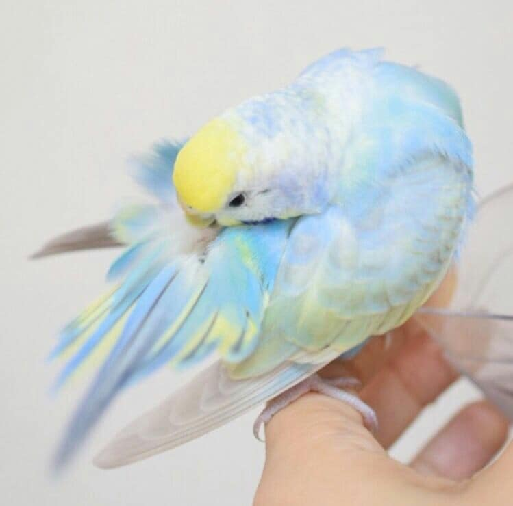 「彩虹系小鳥」美到少女全瘋狂 水蜜桃鳥「優雅展翅」就像穿上仙女婚紗❤