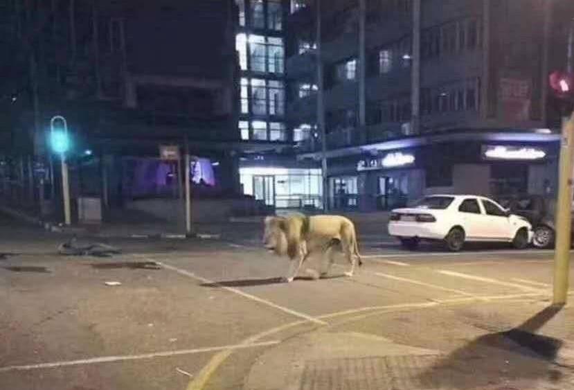 網瘋傳「俄羅斯放獅子上街」防疫 俄發言人冷笑:我們會放熊,更有效率!