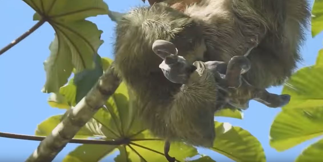 影/樹懶媽生產過程「竟然是用噴的」生完得趕緊把寶寶撈回來