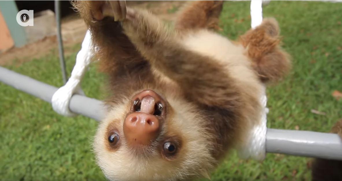 影/你們聽過「樹懶叫的聲音」嗎?網聽完全笑翻:真的很母湯!