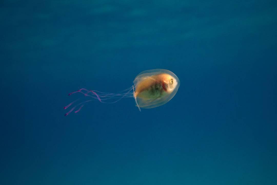 無辜小魚「卡水母身體」臉超驚恐 牠像在「開潛水艇」還能自己控制方向!