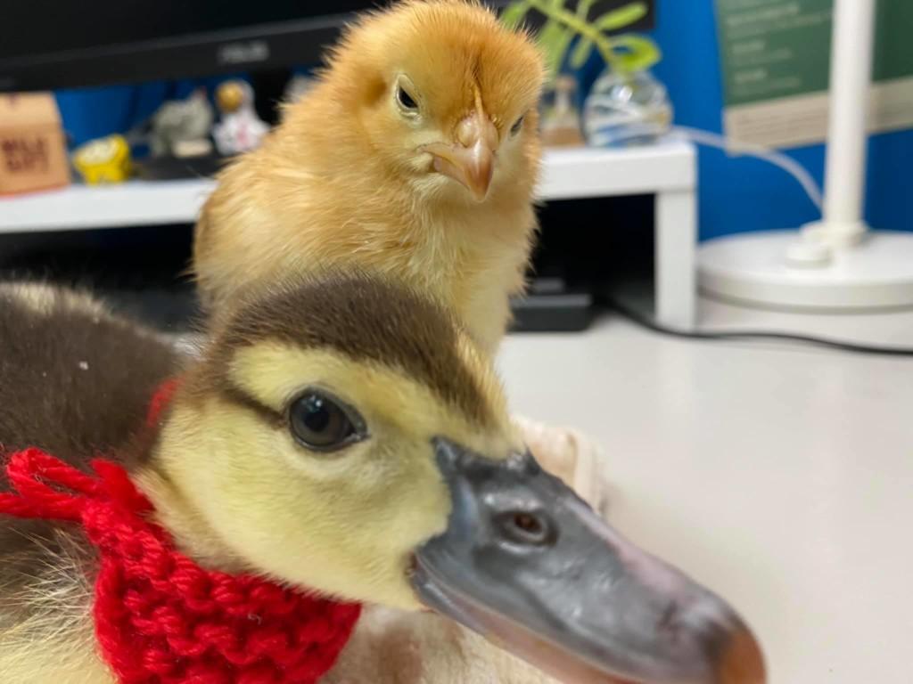 網友發現「撞臉川普的小黃鳥」爆紅 「斜視瞇眼」表情太還原!