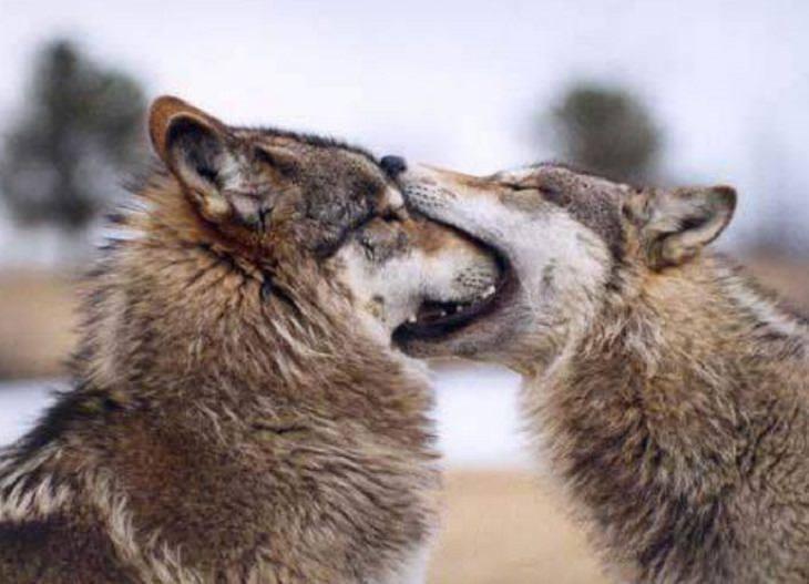大自然最萌畫面!野狼用「一口咬住整顆頭」代替最美告白:我愛你❤
