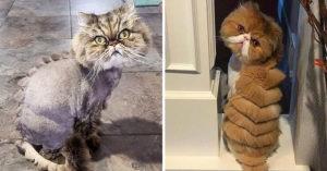 22隻被奴才惡整「變成恐龍」的可憐貓 牠醜到像背上有一排吐司!
