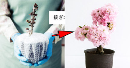 不能出國沒關係!日推「迷你櫻花」種1週就可在家賞櫻