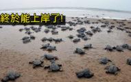 疫情爆發「沒人敢去玩」海灘封閉 28萬海龜「平安回家」產6千萬寶寶!