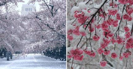 疫情下的美景!東京暌違32年再現「櫻花雪奇景」沒遊客才有機會看到❤