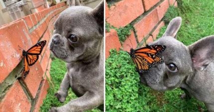 小法鬥「交到蝴蝶新朋友」 小心翼翼「開飛機耳偷看」超可愛❤