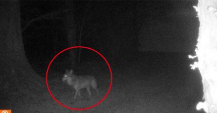 人類關在家「百年一見灰狼」終於現身 專家驚:以為已滅絕