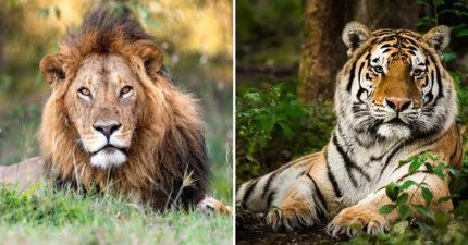 紐約再爆4虎3獅「動物群聚確診」 其中一隻「無感染症狀」!