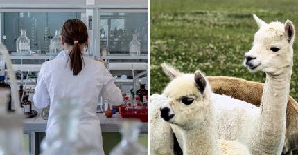 研究發現「駱馬」能阻擋病毒 專家:有望「治療武肺」!
