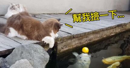 貓貓「玩具掉水裡」趴岸邊苦守 霸氣鯉魚哥「浮出水面」幫撿!