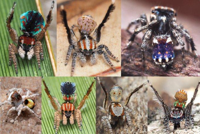 澳洲一次發現7隻新品種蜘蛛!「孔雀蜘蛛」花紋竟意外撞款「梵谷星空」