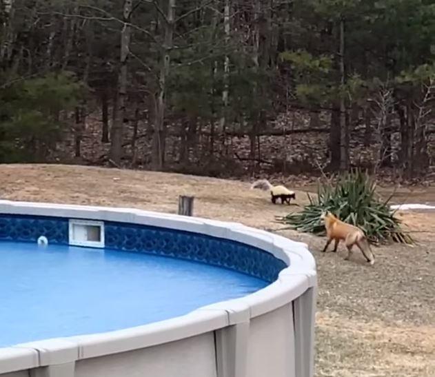狐狸找朋友「玩鬼抓人」超犯規 臭鼬「追不到」氣瘋:換你當鬼!