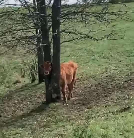 小牛「頭卡在樹裡」出不來 巧遇「遠足父子」結局超暖!