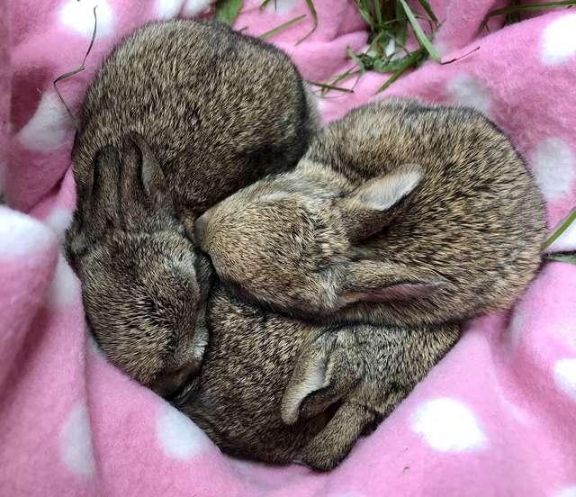 出生滿月就「沒有媽媽」!小萌兔獲救「睡成愛心」感謝恩人