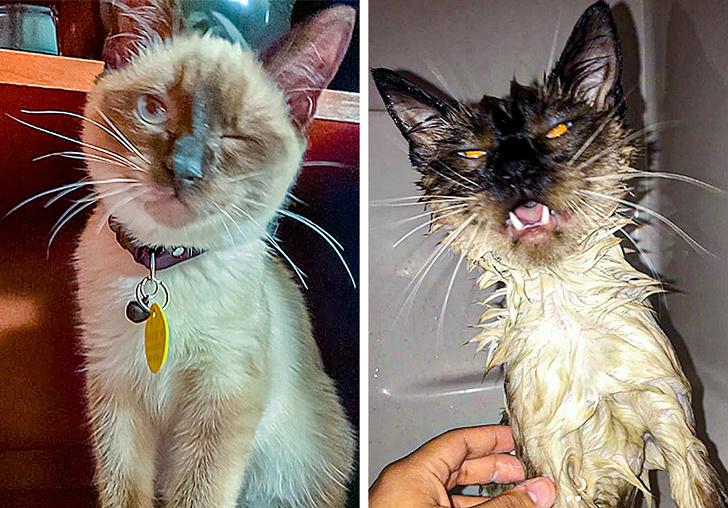 14張「洗澡像整形」的寵物下水對比照 貓皇比夜店妹還驚人!