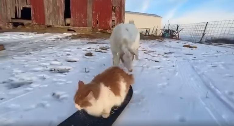 會滑雪的貓「技巧熟練到」家狗都來拜師「拜偷教偶」