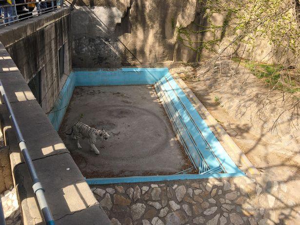 動物園「老虎太焦慮」地板被「走出一個圓」園方:已治療!