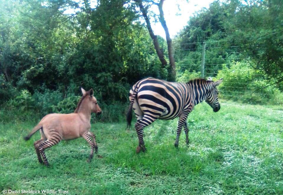 斑馬和驢子生下「混血寶寶」只有腳有條紋 網疑惑:要叫什麼?