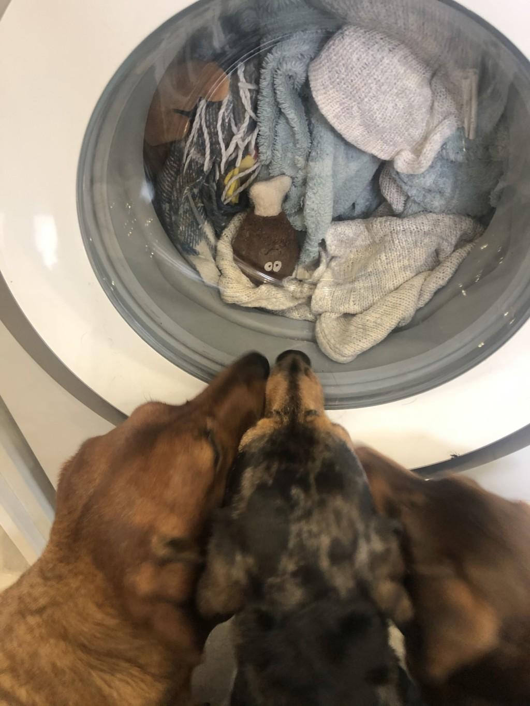胖臘腸「死守洗衣機一小時」緊盯最愛的玩具:快救它QQ