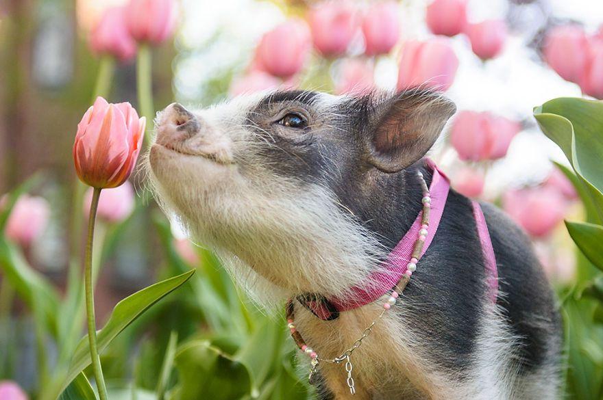 最近太負面!攝影師拍「專業治療小豬」夢幻花海照安慰你