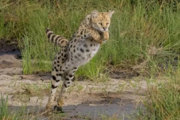 攝影師巧遇「超稀有藪貓」!竟色變成「野生黑豹」