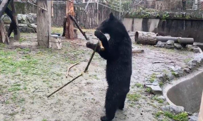 影/動物園驚見黑熊「站著耍三截棍」 員工:牠花2年自學!