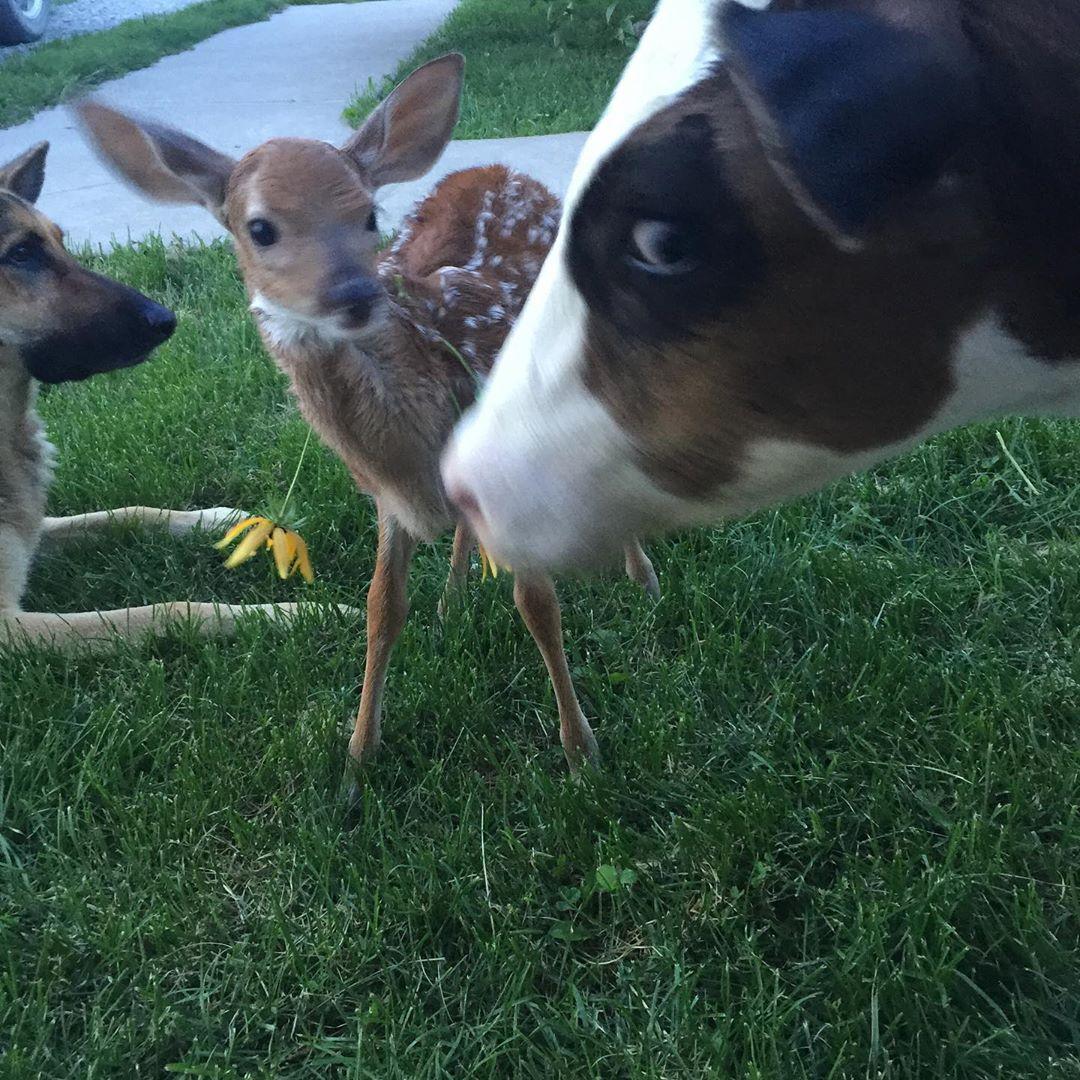 暴躁狼犬愛上「孤兒小鹿」變溫柔大狗 最後還開了專業育幼院!