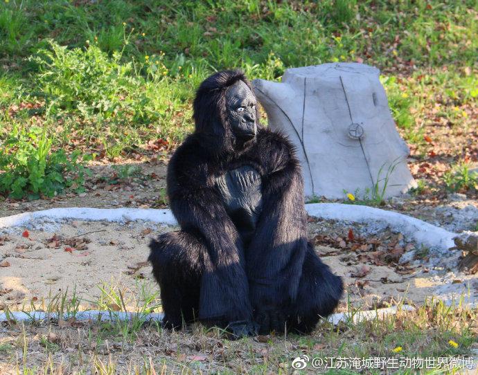 動物園驚爆「假猩猩真工讀生」廉價到根本放棄掩飾
