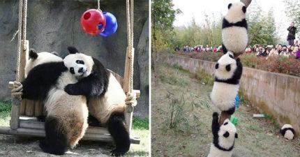 韓劇情節全來!「最恩愛貓熊」背後抱、咬耳朵太浪漫❤