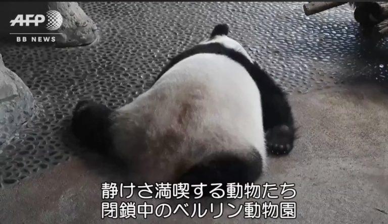 影/疫情閉園沒遊客 大貓熊超嗨「吊單槓狂轉圈」太可愛!