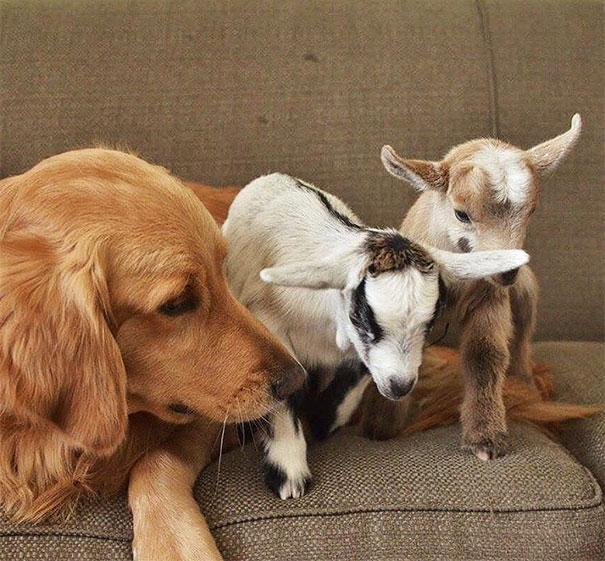 阿金媽「認錯孩子」把山羊當寶寶 「超寵溺眼神」根本是親媽!