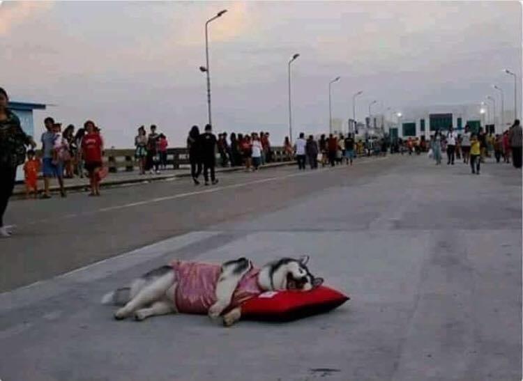 那些證明「狗也是水做的」爽睡汪 在馬路上「躺枕頭」太囂張!
