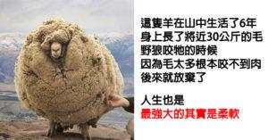地表唯一「野狼也不敢咬」的羊 竟可學到滿滿人生哲理!