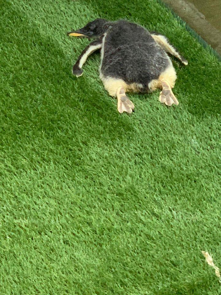 懶企鵝「累到度估」屁股超翹 罕見「黑肉掌」露出!
