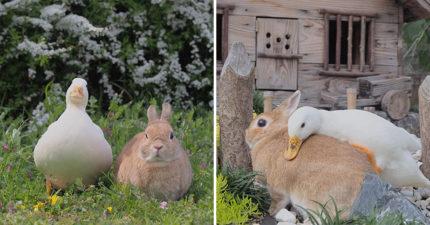 地表最Q友誼就是「小白鴨+棕兔」 穿上小外套變真實彼得兔!