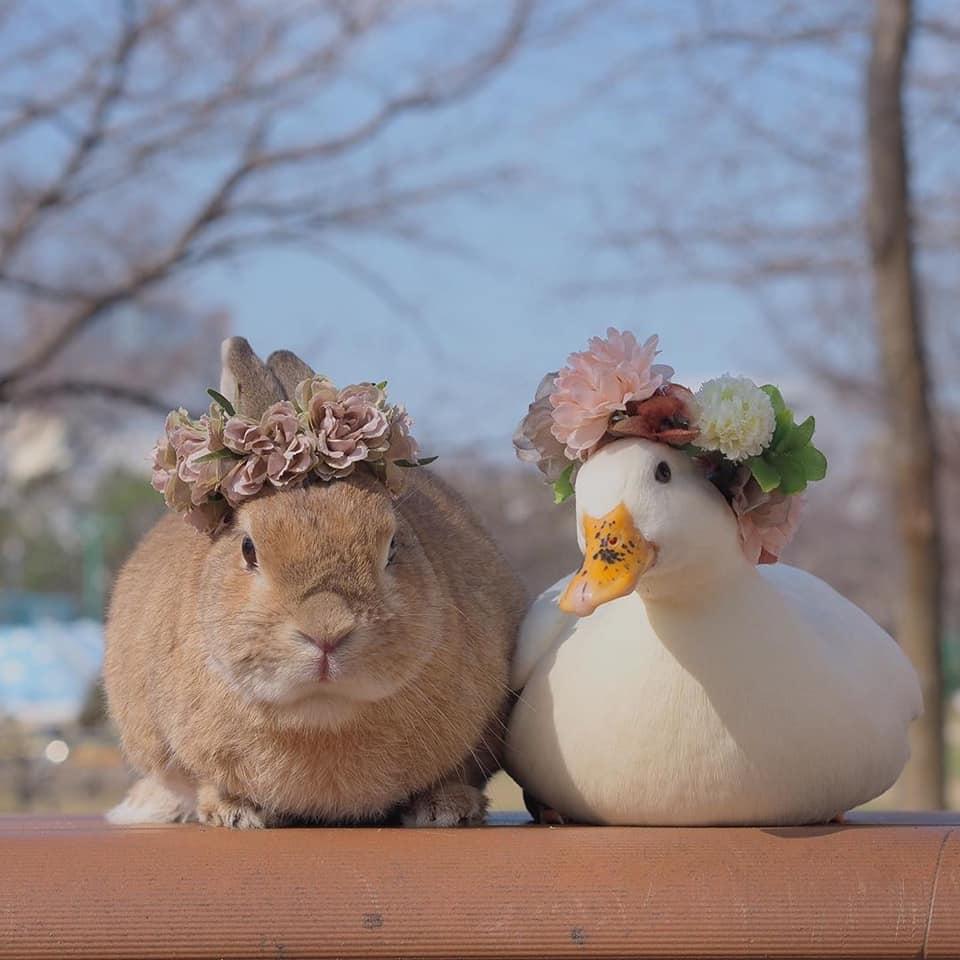 地表最Q友誼就是「小白鴨+棕兔」!穿上小外套變「真實彼得兔」