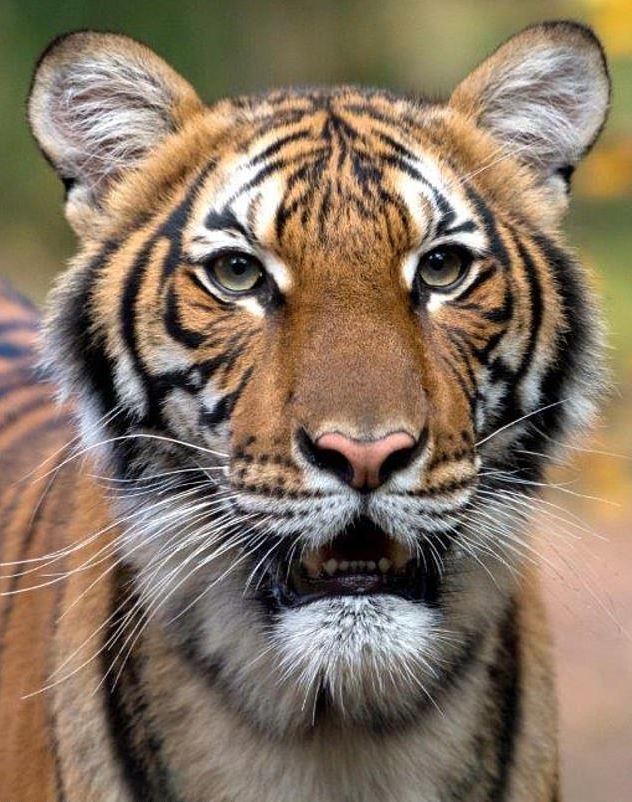 紐約動物園「老虎確診武肺」成世界首例 感染源竟是「無症狀照護員」!