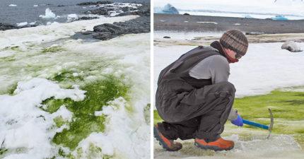 雪白南極突然「變翠綠大草原」 科學家:都是企鵝害的!