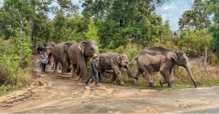 百隻大象「工作20年」終於可回故鄉 主人:疫情救了牠們!