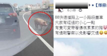 豬仔「誤闖大道」導致塞車 意外釣出「一堆小豬」回覆!