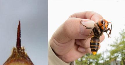 2020不平靜!美國出現「殺人大黃蜂」當局警告:大到可致死